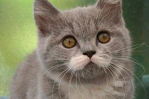 【画像】綺麗なムスタリッシュ(口ひげ)を持った猫が可愛過ぎるwww